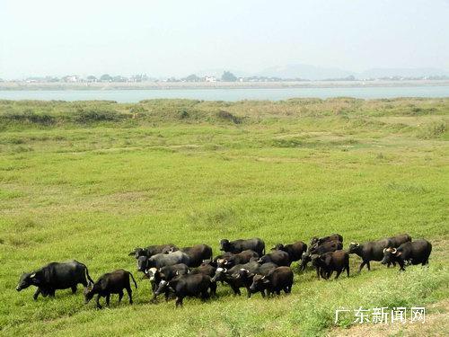 南海平沙岛上绿草如茵,牛羊自在觅食,田园牧歌式的优美江岛在珠江三角