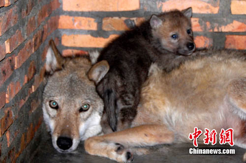 深圳野生动物园首次成功繁殖狼 众母狼争当妈妈