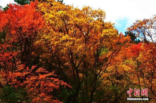 金秋10月,四川阿坝州黑水县迎来了最美季节,数百里彩林洋洋洒洒,河谷两岸的枫树、槭树、桦树、鹅掌松、落叶松等渐次经霜,树叶被染成为五彩斑斓的颜色。红叶由高到低层次分明地从山顶到河谷竞相争艳,构成了一幅万紫千红、五彩缤纷的天然彩色画卷。图为四川黑水奶子沟彩林风光。 庄媛 摄