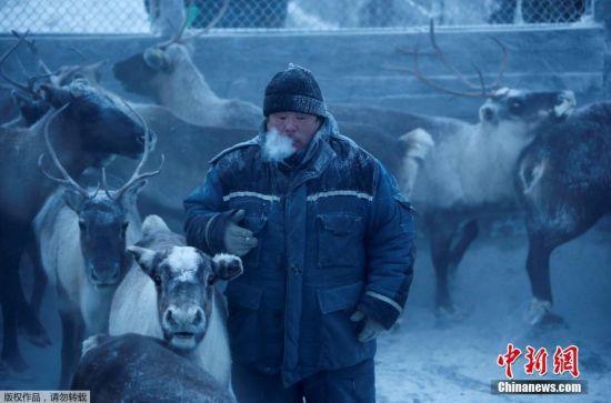 伊格-列科夫(Igor Ledkov)在克拉斯诺耶的农村合作社工作,他说,当地人尽量会将驯鹿数量控制在一万五千到一万七千只的范围内。