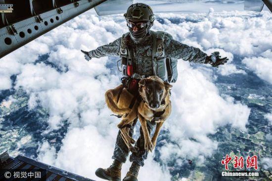 2017年7月25日消息,摄影师奥利弗近日跟拍哥伦比亚空军的搜救训练,在1.4万英尺(约合4300米)高空拍下了军犬夏拉跳伞的罕见画面。夏拉当天戴着特制的装备,在技术员卡洛斯的带领下从高空一跃而下,场面惊险又酷炫。夏拉是一只一岁大的比利时马林诺斯牧羊犬,它刚几天大就开始接受训练,以应对日夜不同环境下的紧张局势,即使在跳伞的过程中它也非常平静,就跟其他狗坐车出去兜个风没什么两样。而已服役24年的哥伦比亚空军首席技术员卡洛斯是一名专业的战斗搜索和救援(CSAR)伞兵,此次他全权负责训练夏拉的第五跳也是它的最后一跳。图片来源:视觉中国
