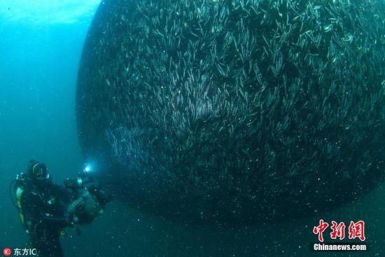 当地时间2月22日,土耳其里泽省黑海海岸,大量�鱼又称凤尾鱼在黑烟被鱼网捕获,蔚为壮观。图片来源:东方IC 版权作品 请勿转载