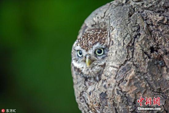 2018年4月24日报道(具体拍摄时间不详),英国特威德河畔贝里克,摄影师NG Cheuk Kai在猫头鹰自然保护区连续拍摄猫头鹰时,发现猫头鹰突然不见了。原来,这只猫头鹰把自己藏在树洞里,瞬间和树皮的颜色融为一体,只有当它睁开眼睛,以及当它的黄色鸟喙伸出来时,摄影师才有机会发现它的隐身之处。 图片来源:东方IC 版权作品 请勿转载
