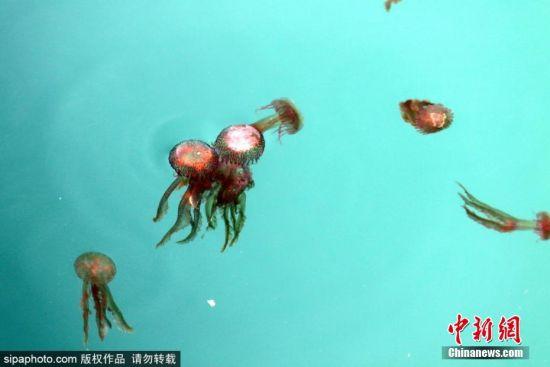 当地时间8月5日,西班牙马拉加海滩附近出现大量水母。虽然在马拉加海岸,水母的出现在整个夏天都是常事,但如此数量过于泛滥,也成为了一种灾害。 图片来源:SipaPhoto 版权作品 请勿转载