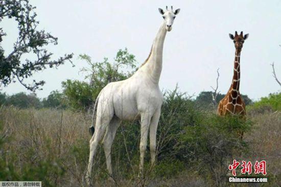 当地时间3月10日,据肯尼亚环境保护主义介绍,肯尼亚唯一的雌性白长颈鹿和她的幼崽被偷猎者杀害。肯尼亚Ishaqbini Hirola自然保护区在一份声明中说,在肯尼亚东部加里萨发现了这两只被偷猎者杀害的长颈鹿的遗骸。据悉,目前仅剩下由最后一只由被杀害的雌性长颈鹿所生的白色长颈鹿生活在保护区。图为Ishaqbini Hirola提供的生活在肯尼亚东北部加里萨县的稀有白色长颈鹿。