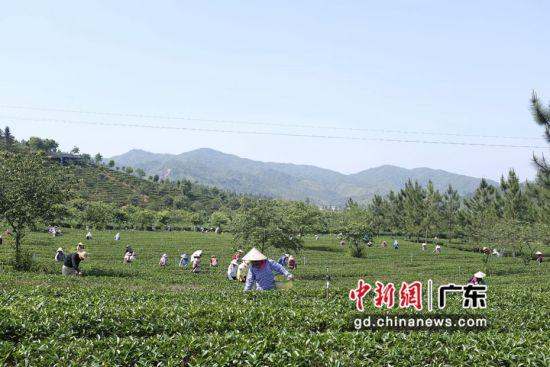 """广东""""香格里拉""""云髻山首次举办山茶开采节"""