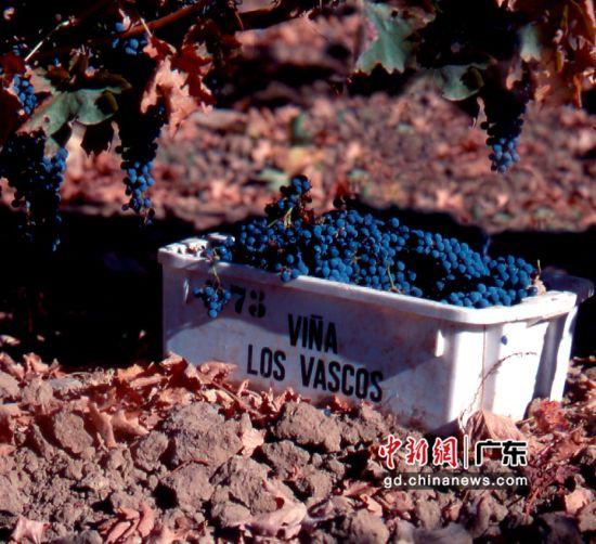 巴斯克酒庄葡萄,主办方供图