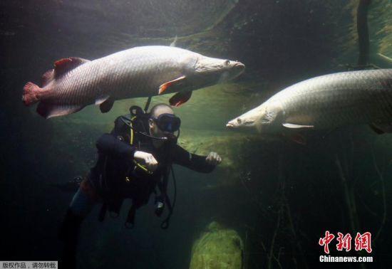 当地时间2017年10月17日,瑞士洛桑,欧洲最大的淡水水族馆阿夸蒂斯水族馆将于10月21日开放参观,潜水员查看热带鱼类。